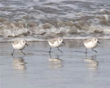 Image result for sanderlings bird