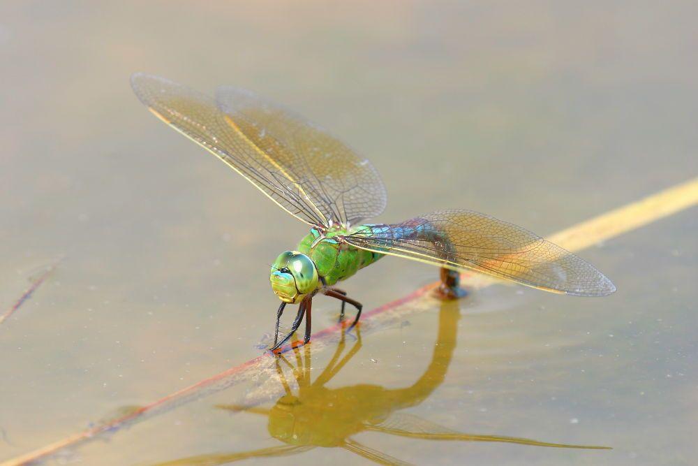 Insectos. Foto de halconera sureña hembra depositando los huevos en el agua de una charca. Aeshna cyanea