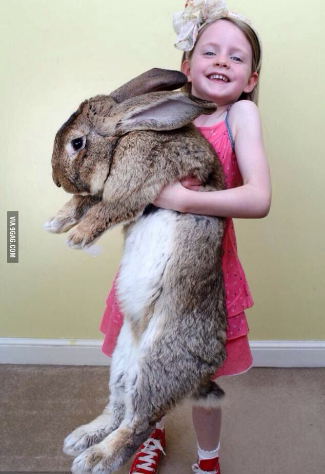 Darius the 50 pound, 4 foot 4 inches bunny rabbit from Worcester, England that is now officially the world's biggest! is part of Giant bunny - 14,466 points • 328 comments  Darius the 50 pound, 4 foot 4 inches bunny rabbit from Worcester, England that is now officially the world's biggest!  9GAG has the best funny pics, gifs, videos, gaming, anime, manga, movie, tv, cosplay, sport, food, memes, cute, fail, wtf photos on the internet!