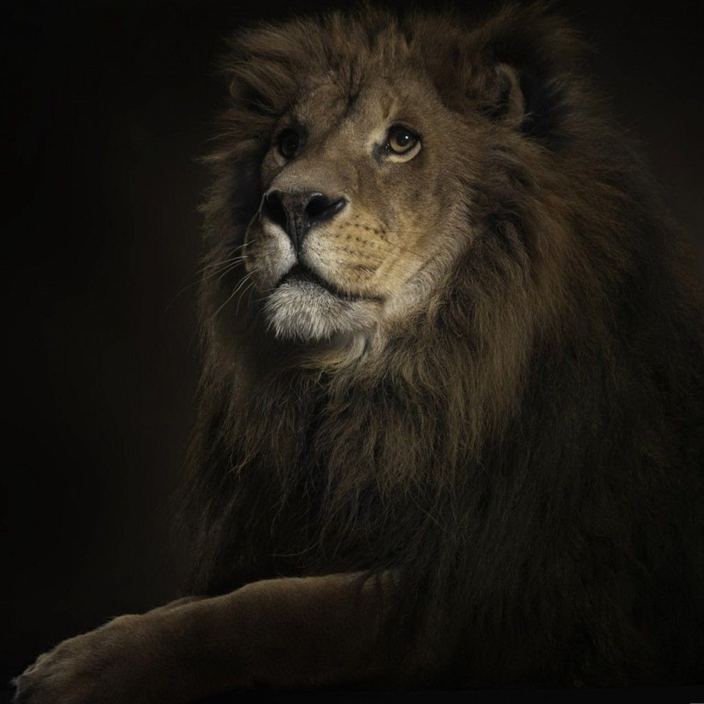 Lion Ipad Wallpaper Hd Lion Hd Wallpaper Lion Wallpaper Lion Images