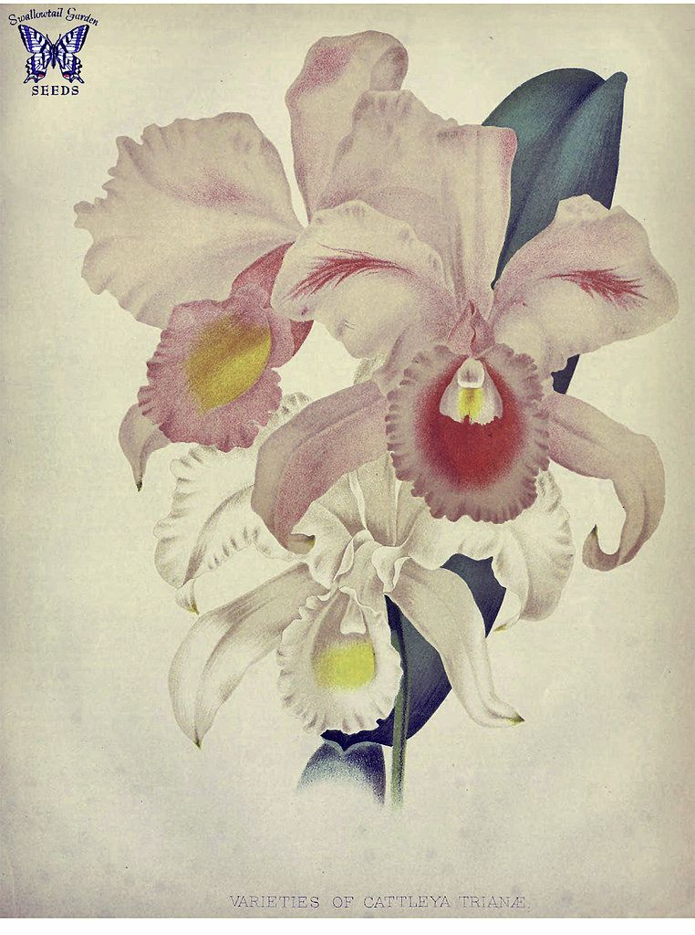 May Flower Christmas Orchid Cattleya Trianae Endemic To Colombia It Is Their National Flower An Epiphyte That Grows In High Elevation Cloud Forests The Orchid Illustration Botanical Drawings Flower Illustration