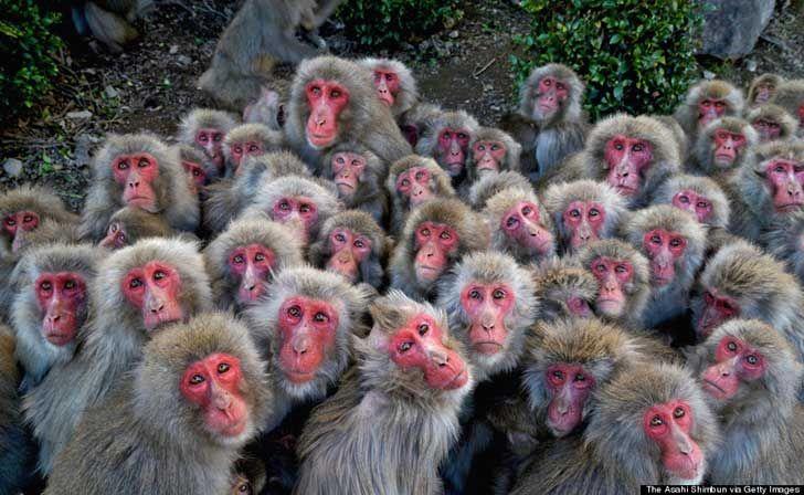 """TONOSHO, JAPAN, 2 DE DICIEMBRE: Macacos japoneses se amontonan en """"Osaru no Kuni"""" (tierra de monos) de la isla de Shodo, el 2 de diciembre del 2014 en Tonosho, Kagawa, Japón. """"Sarudango"""" (dumplings de monos) es una atracción popular para los visitantes. Cerca de 500 macacos japoneses salvajes viven en la reserva natural y son alimentados por los miembros del personal del área protegida."""