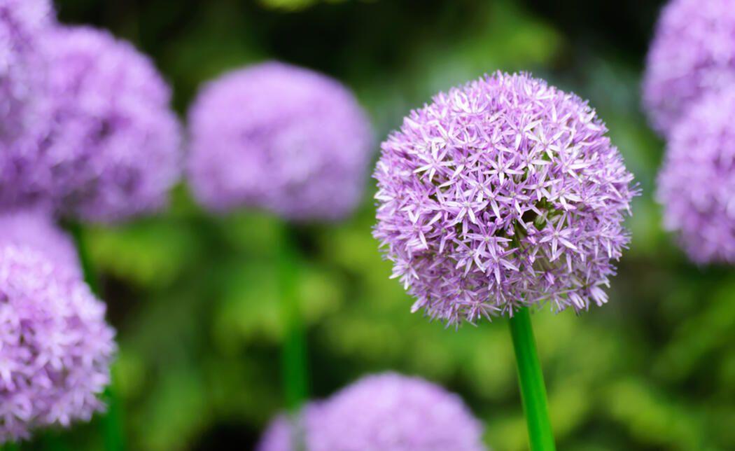 Zierlauch Pflanzen Die 5 Haufigsten Fehler Pflanzen Zierlauch Lauchblumen