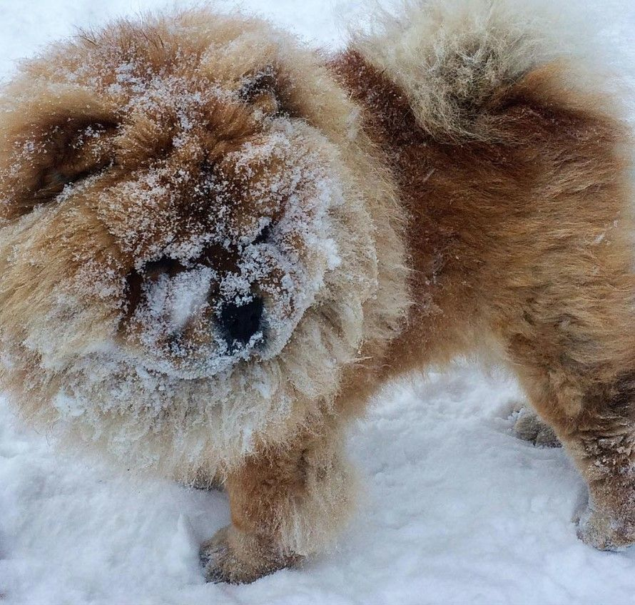 155 Best Chow Chow Dog Names Chow Chow Dogs Dog Names Chow