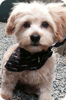Gilbert Az Yorkie Yorkshire Terrierpoodle Miniature Mix Meet