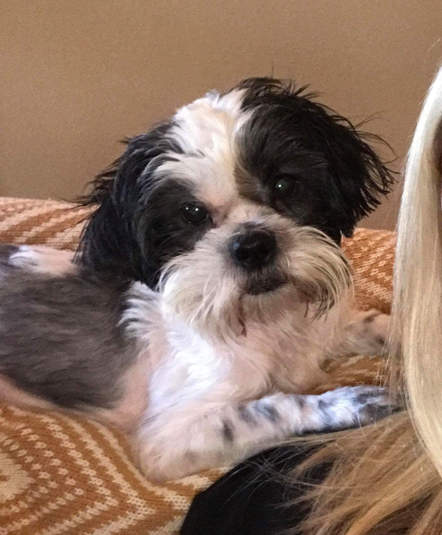 Shih Tzu Dog For Adoption In Mobile Al Adn 602189 On Puppyfinder