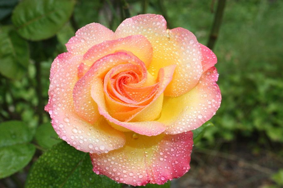 Yellow and pink rose yellow pink rose mist by bluedragoneye on yellow and pink rose yellow pink rose mist by bluedragoneye on deviantart mightylinksfo Gallery