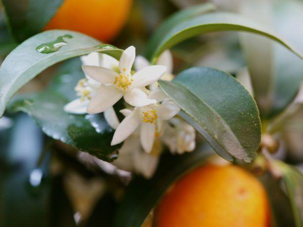 Den Kumquat Uberwintern 5 Tipps Fur Die Perfekte Uberwinterung Pflanzen Zitruspflanzen Kubelpflanzen