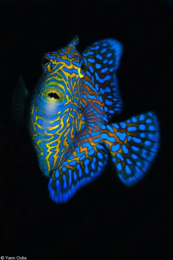 Triggerfish by Yann Oulia