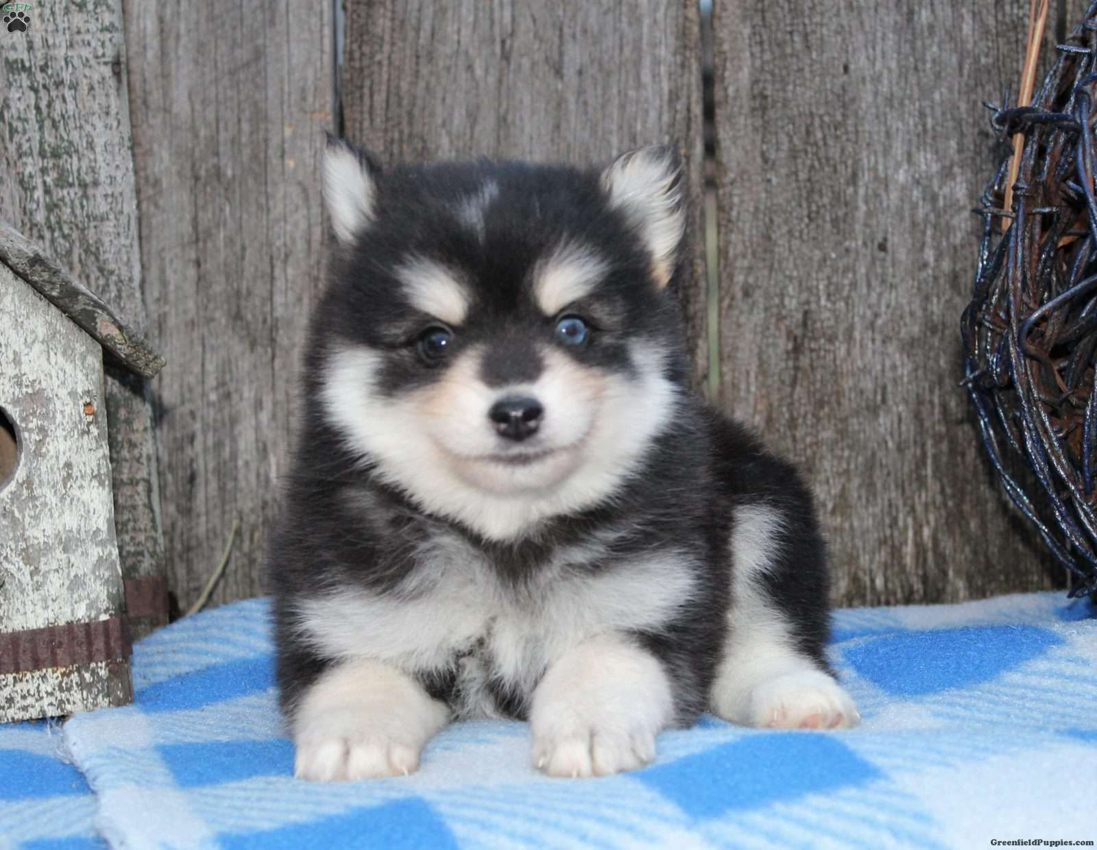 Leo, Pomsky Puppy
