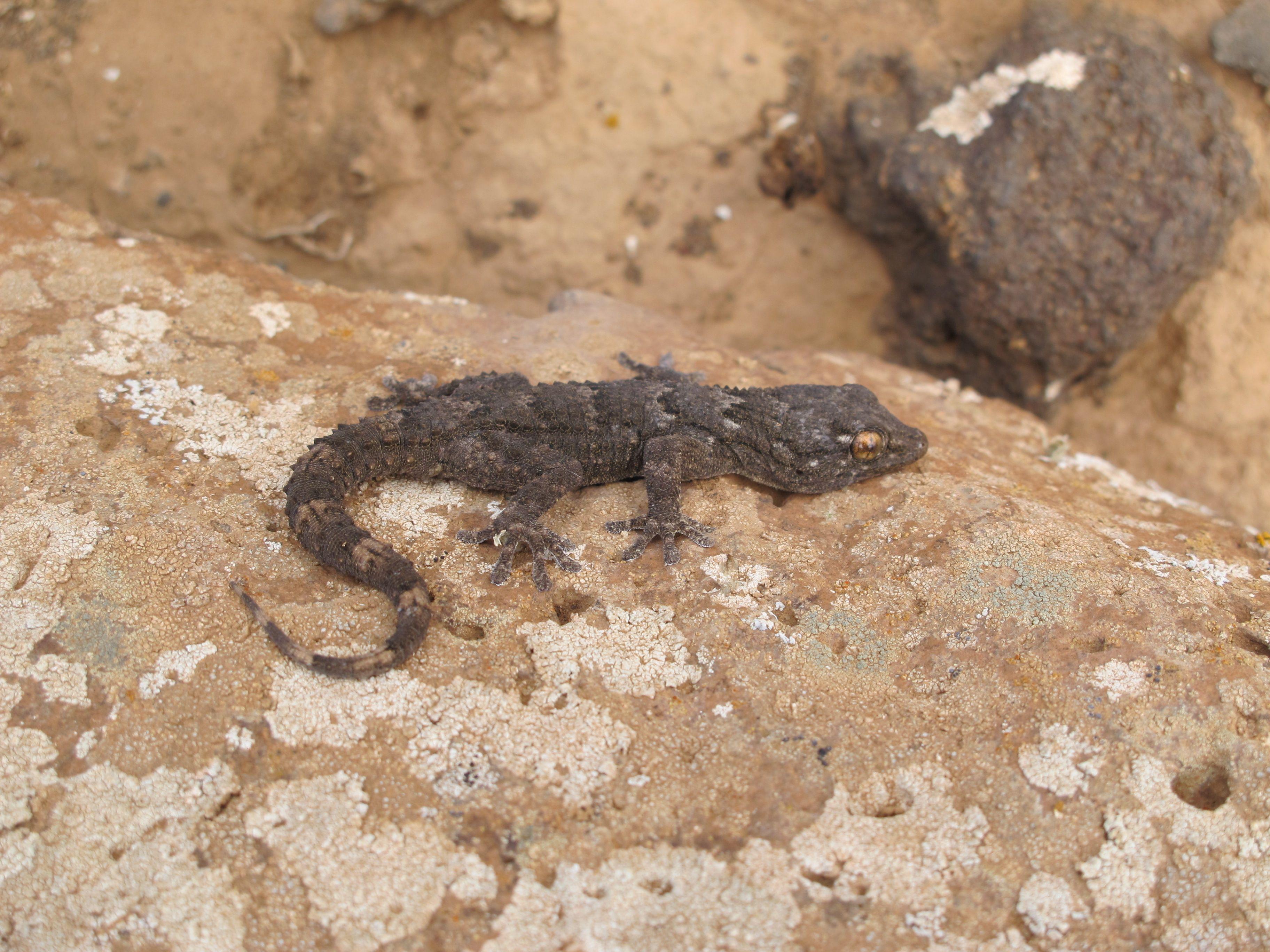 Fuerteventura gecko