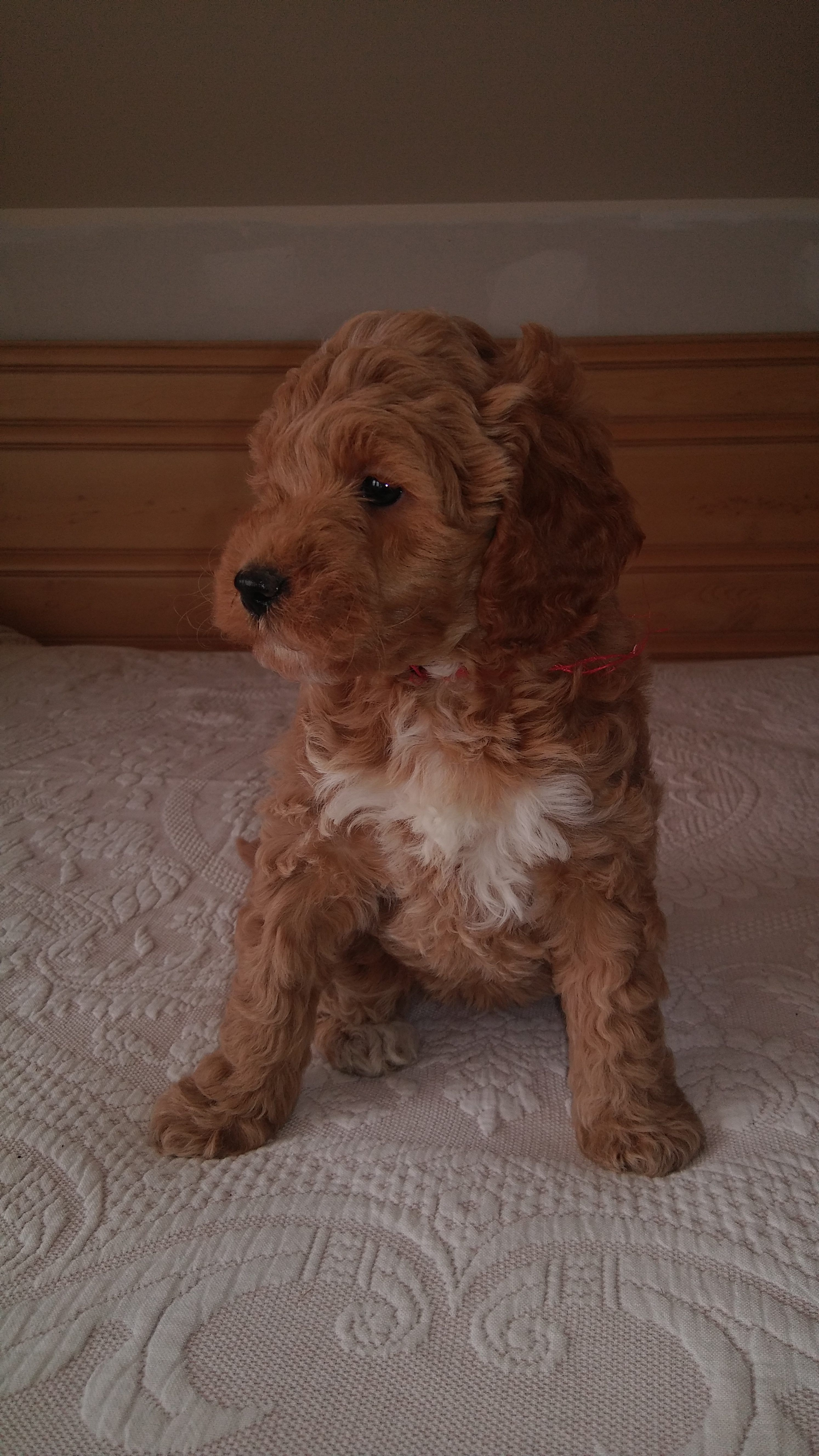 Daisy A Female Miniature Goldendoodle Puppy For Sale In Michigan