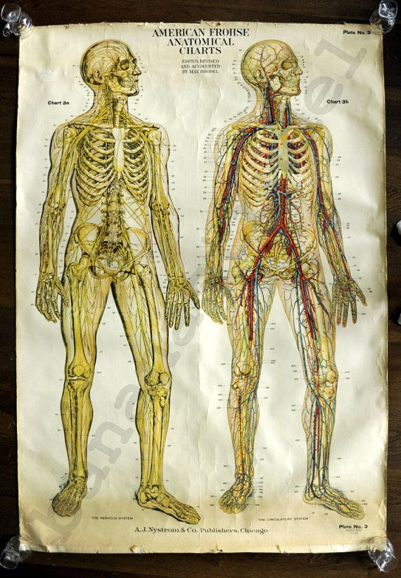 rare wall size paper on canvas anatomical by bananastrudel  1918 rare wall size paper on canvas anatomical teaching chart the nervous and circulatory system by max brodel