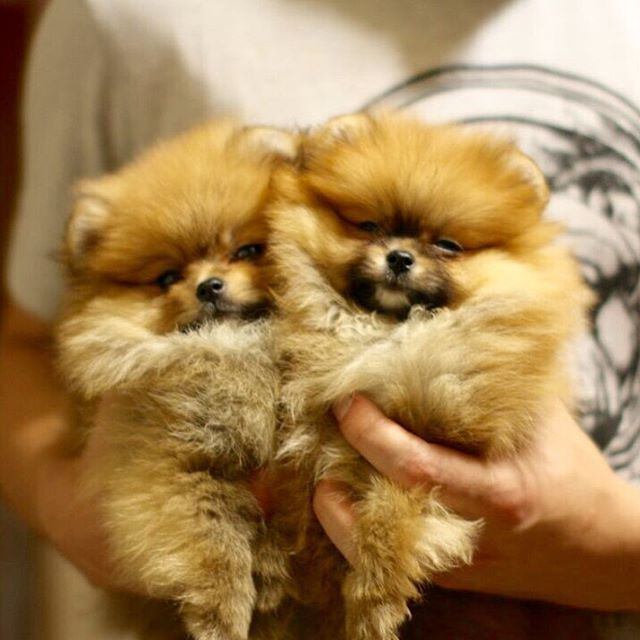 2 Girls For Sale Cute Dogs For Sale Baby Dogs Pomeranian Dog