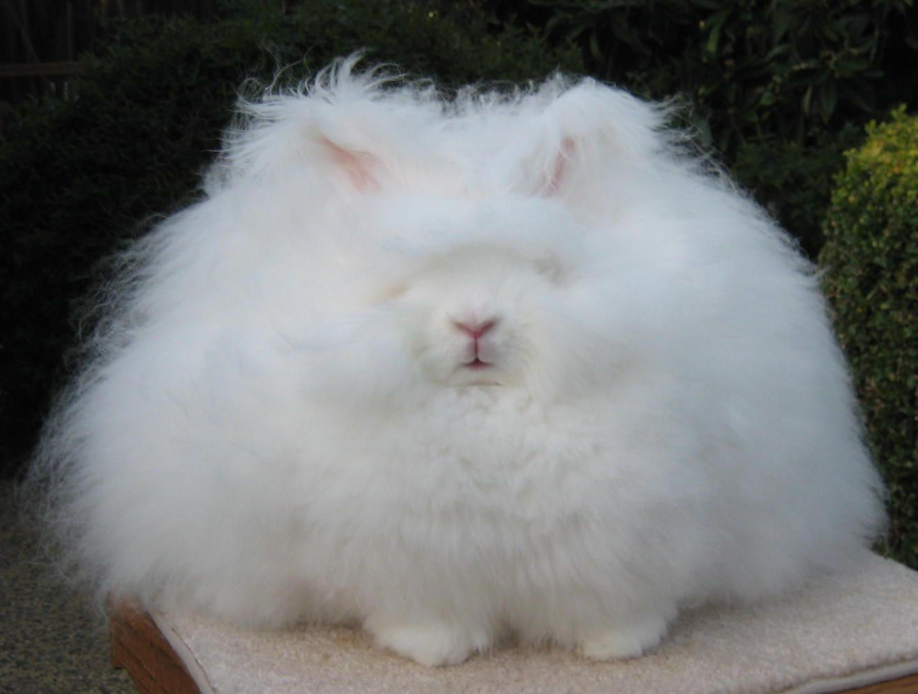 Image result for the angora rabbit