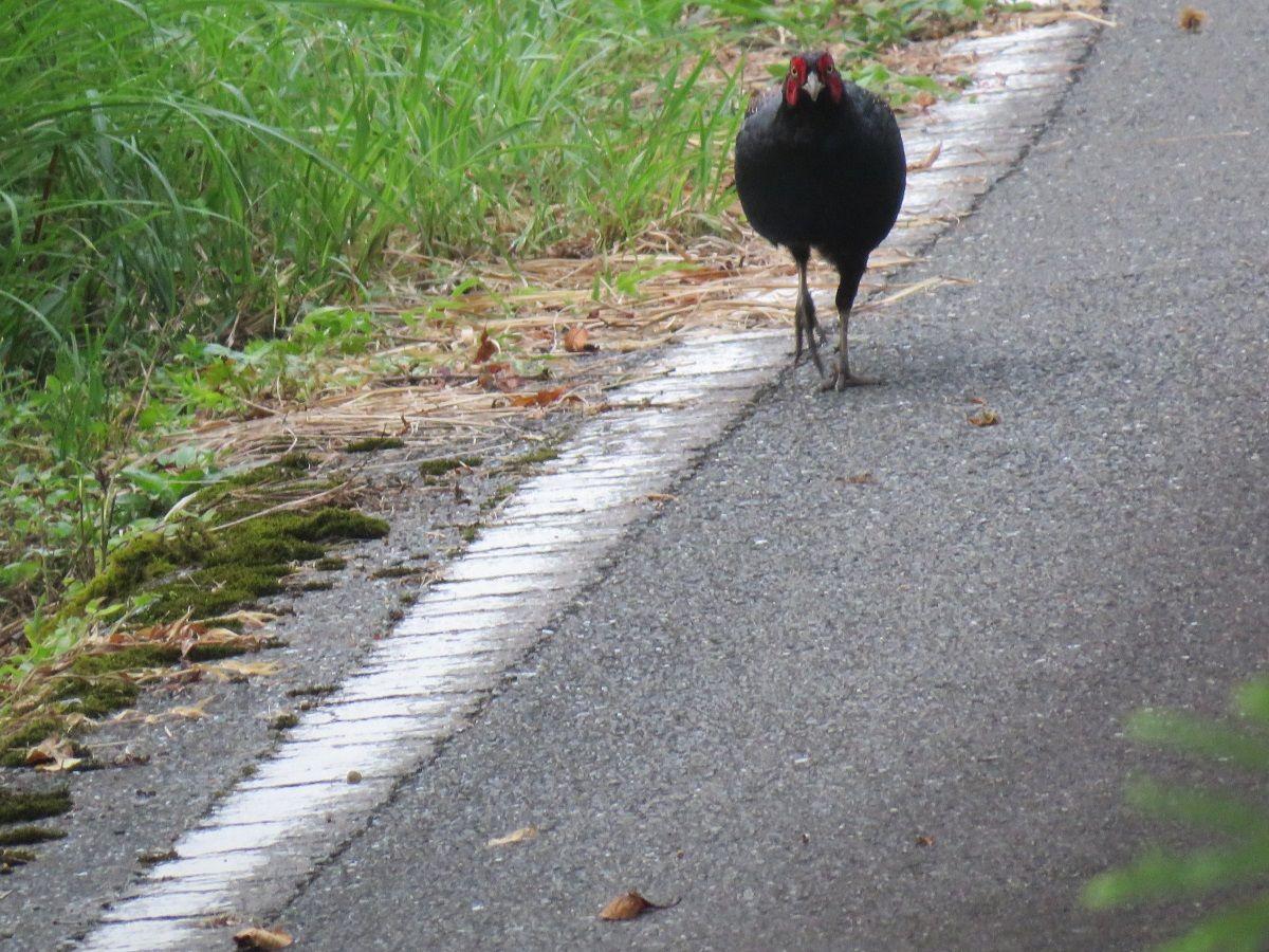 キジ. a green pheasant walking on the road. 28 July 2016.