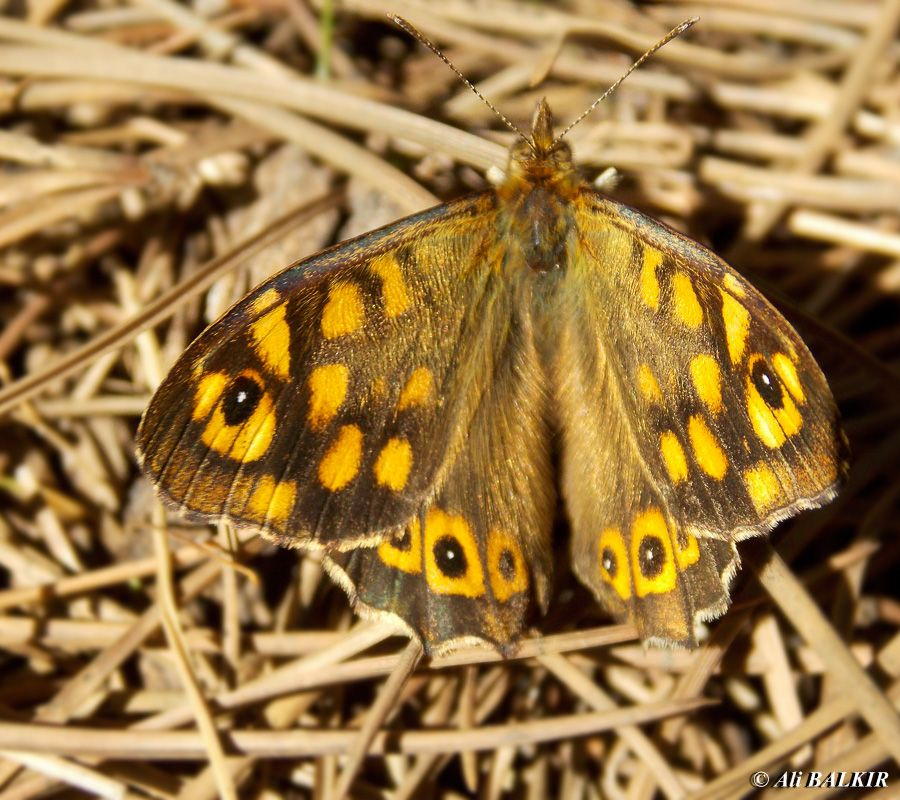 TRAKEL kelebek fotoğrafları, kelebek türleri, kelebekler hakkında detaylı Türkçe bilgi