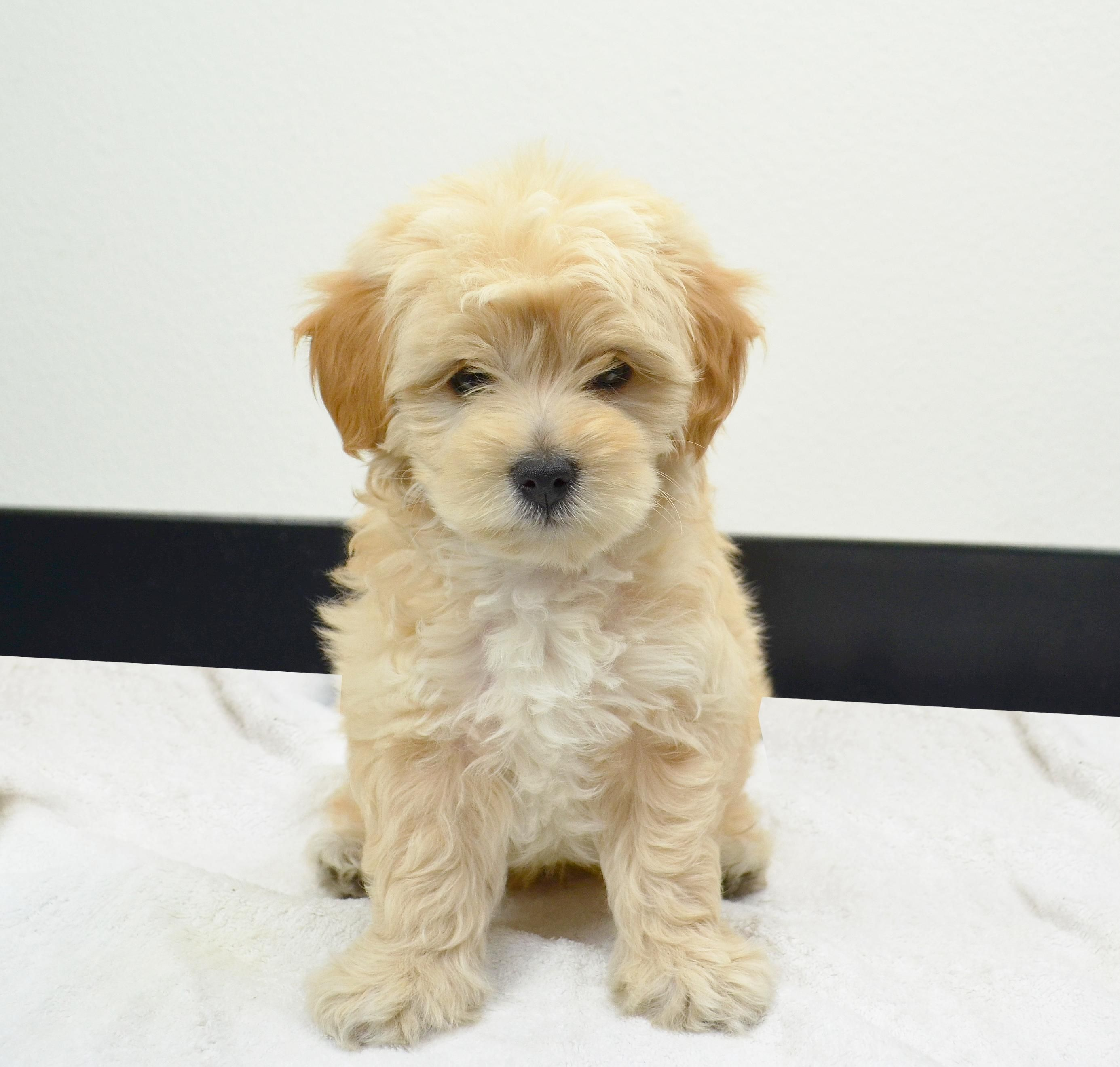 My New Maltipoo He Looks Like A Mini Golden Retriever Puppy But 1 4 Of The Size Https Ift Tt 2lnp3kz C Maltipoo Mini Golden Retriever Golden Retriever Puppy