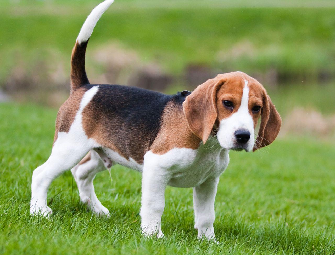 Pin By Fatih Adibelli On Dog Breeds Beagle Puppy Beagle Dog