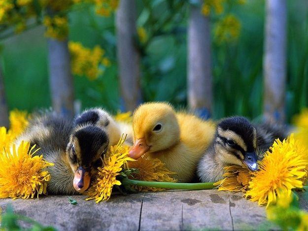 The Truth Behind Duck Duck Goose Duck Wallpaper Baby Ducks Baby Animals