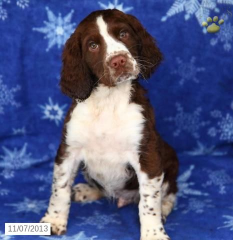 Puppies For Sale English Springer Spaniel Puppy Springer Spaniel Puppies Springer Spaniel