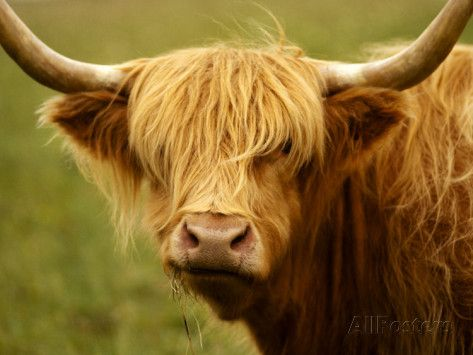 Long Haired Cow Scottish Highlands Photographic Print By Robert Houser At Allposters Com Long Haired Cows Cow Animals