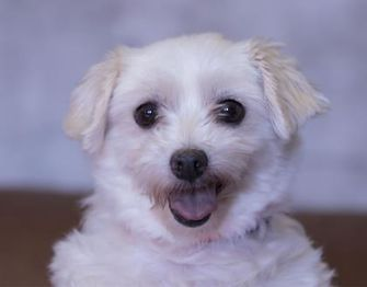 Pictures of Carrisa a Maltese for adoption in Colorado