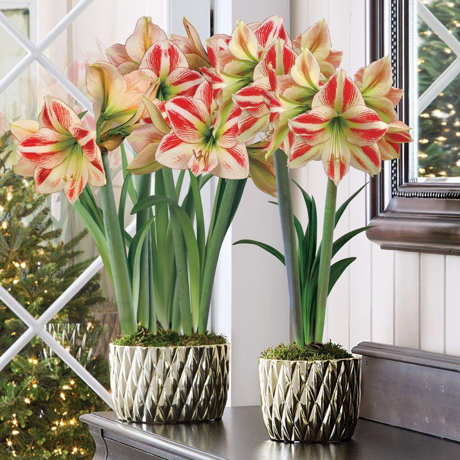 Christmas Love Amaryllis | Amaryllis, Planting roses ...