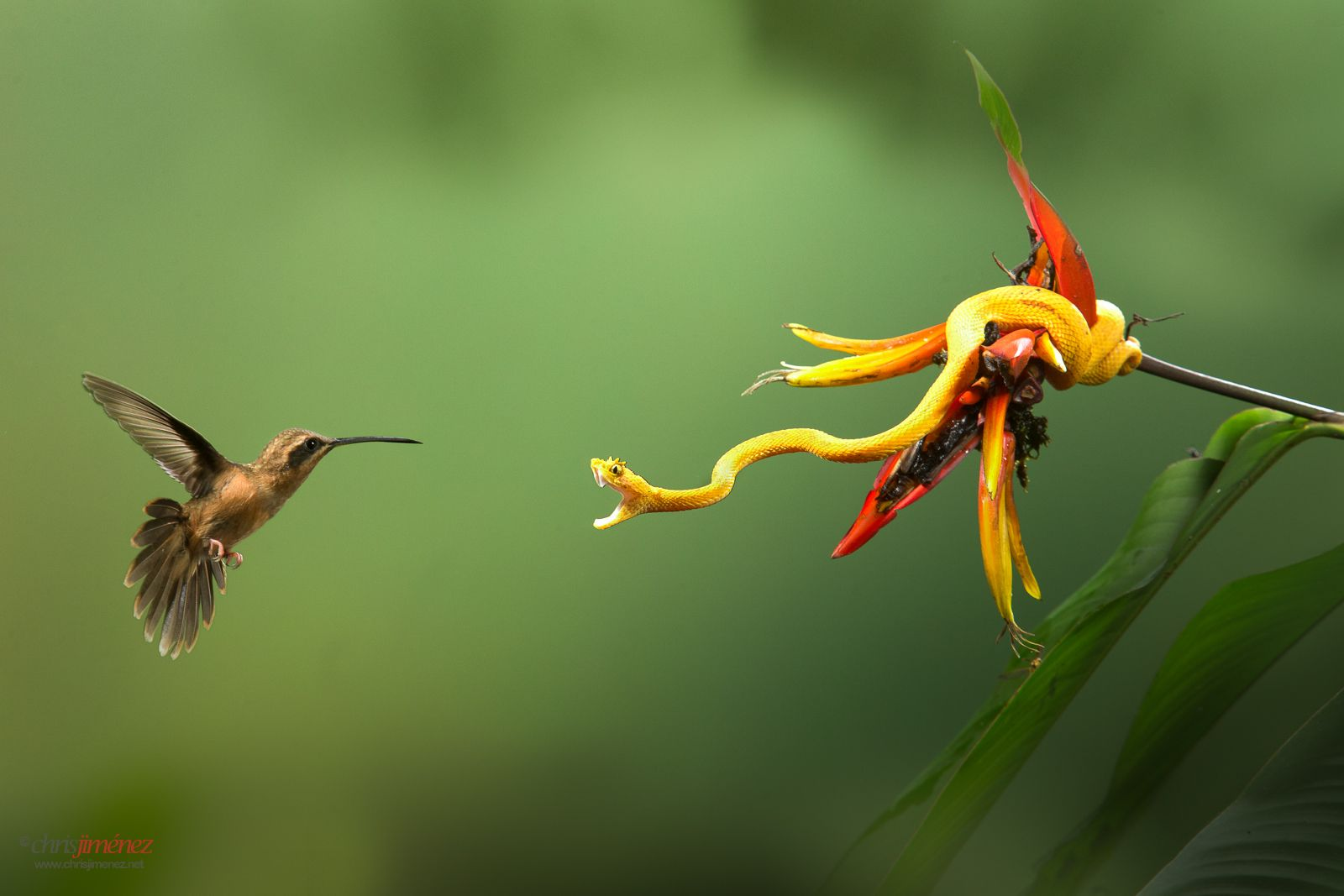 Stripe Throated Hermit Defending Its Territory From An Eyelash Viper