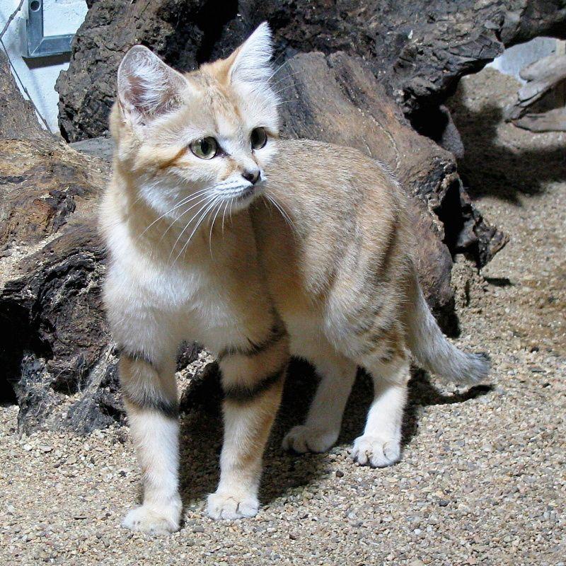 Felis Margarita Wild Cats Cats Cast Animals Wild