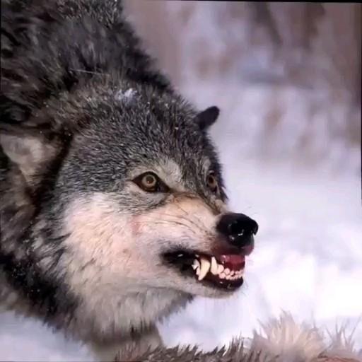 Como Un Lobooo Video Wolf Spirit Animal Animals Beautiful Wolf Photography
