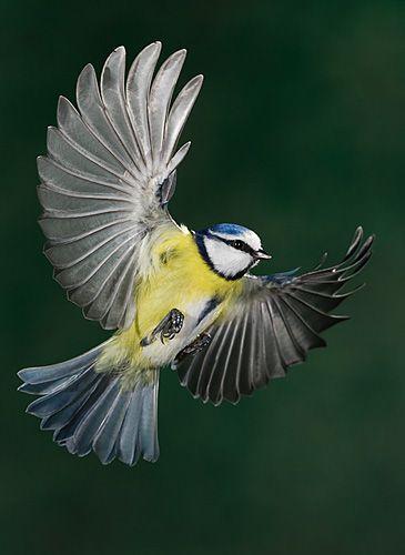 braun  tier und naturfotografie  kohlmeise seltene