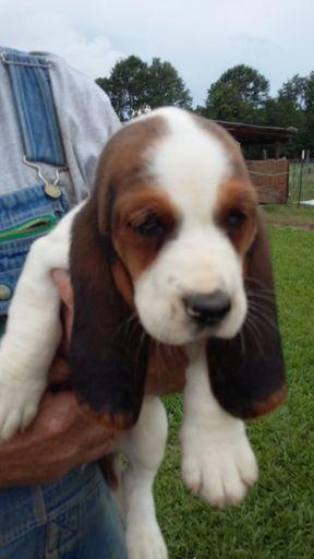 Litter Of 5 Basset Hound Puppies For Sale In Mc David Fl Adn 30804