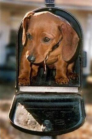 Doxin Puppy Dachshund Love Weenie Dogs Cute Dogs
