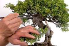 How to Prune A Bonsai Tree: Pruning in Bonsai Made Simple #bonsaiplants