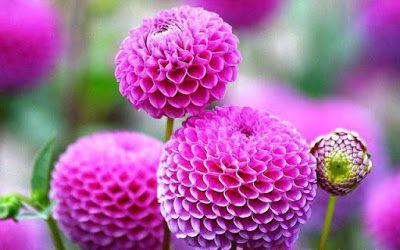 Bunga Tercantik Di Dunia Dahlia Pompon Bunga Eksotis Bunga Dahlia Menanam