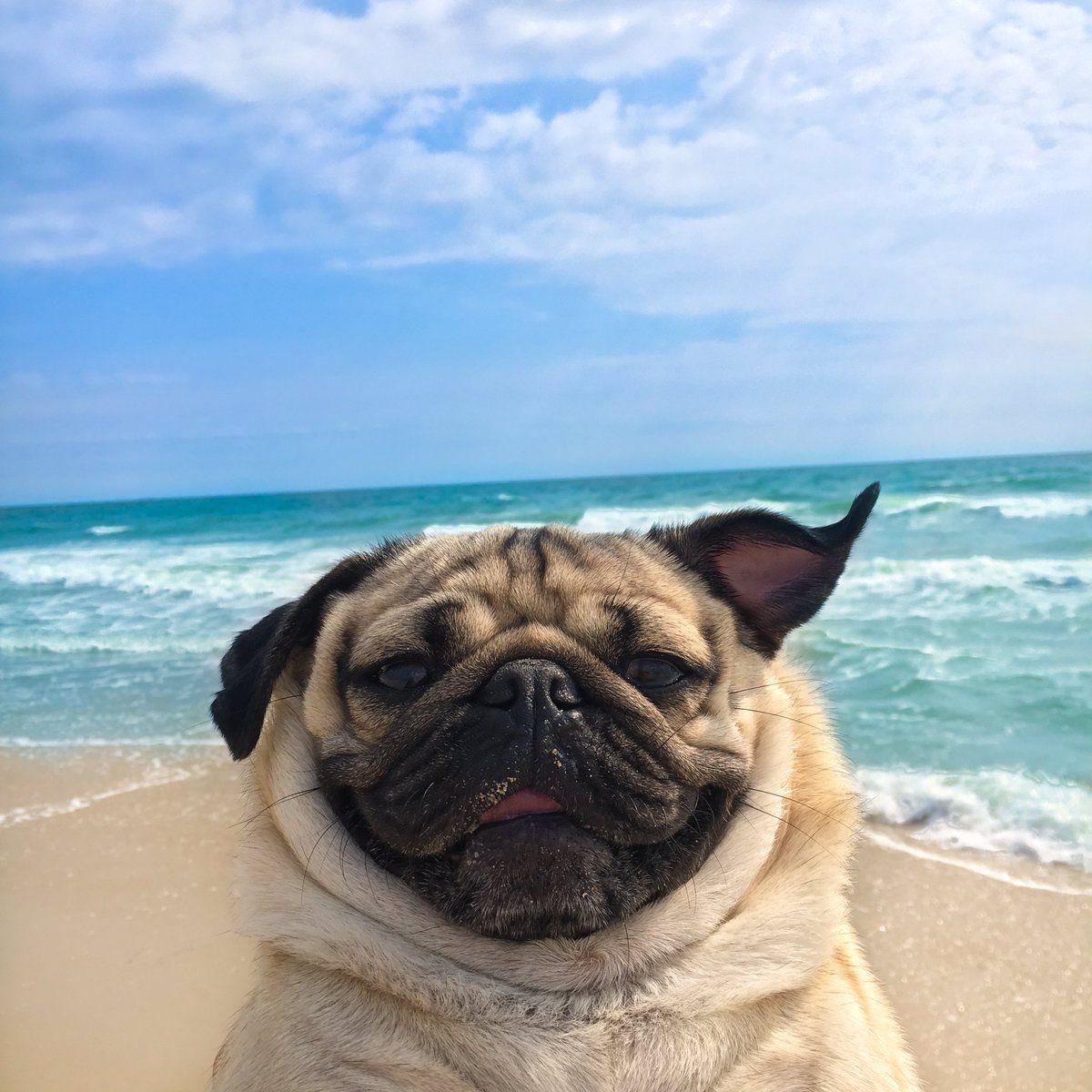 1 Doug The Pug Itsdougthepug Twitter Pug Dog Pugs Funny