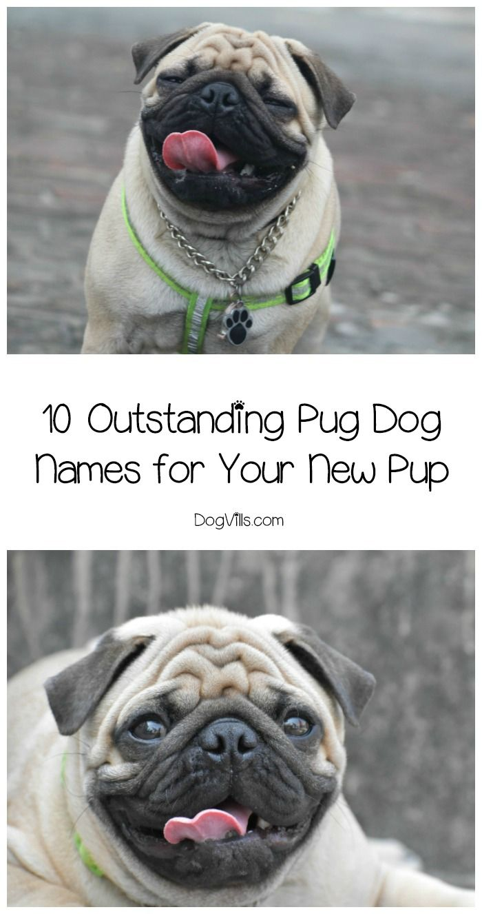 Need Some Great Pug Dog Names To Put Into The Hat For Your Sweet New Pup Check Out These 10 Darling Ideas Boys And S