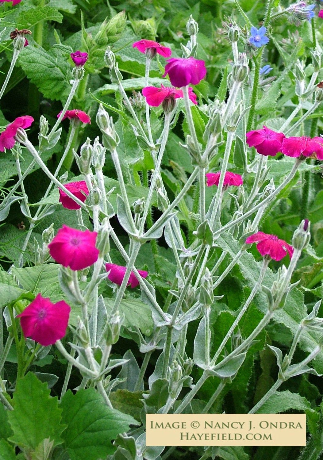 Photo of Lychnis coronaria (Rose Campion) [30 Seeds]