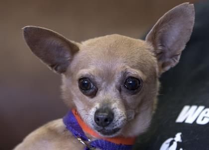 Adopt Sprite A Lovely 8y 8m Chihuahua Short Coat Available For Adoption At Petango Com Small Dog Adoption Cute Animals Chihuahua