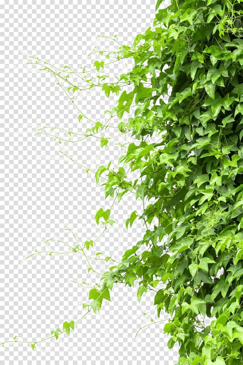 Green Leafed Plant Vine Tree Branch Creeper Transparent Background Png Clipart In 2021 Grape Tree Trees To Plant Creepers Plants