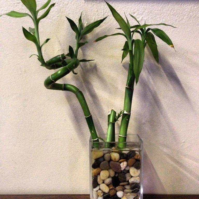 El bambú de la suerte que siempre has querido y detalles de cultivo ...
