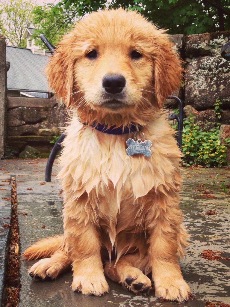 Golden Retriever Puppies Ohio Hd Wallpaper For Desktop Golden