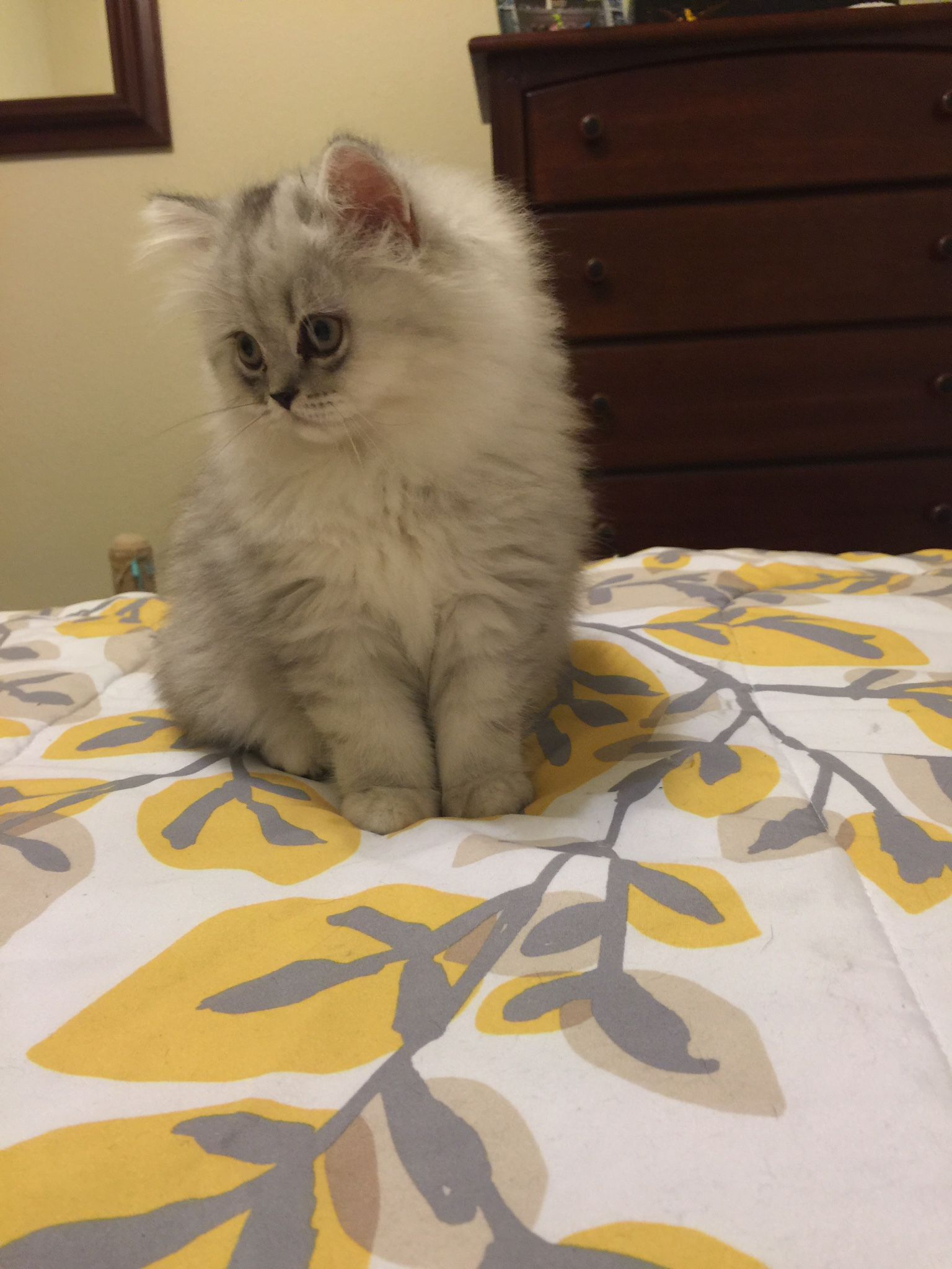 Beautiful Silver Persian Kittens For Sale Persian Kittens Beautiful Kittens Persian Kittens For Sale