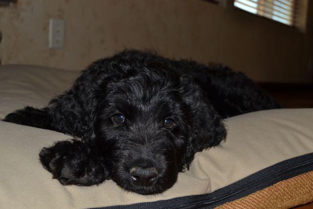 Black Goldendoodle puppy, Dempsey! Goldendoodle puppy