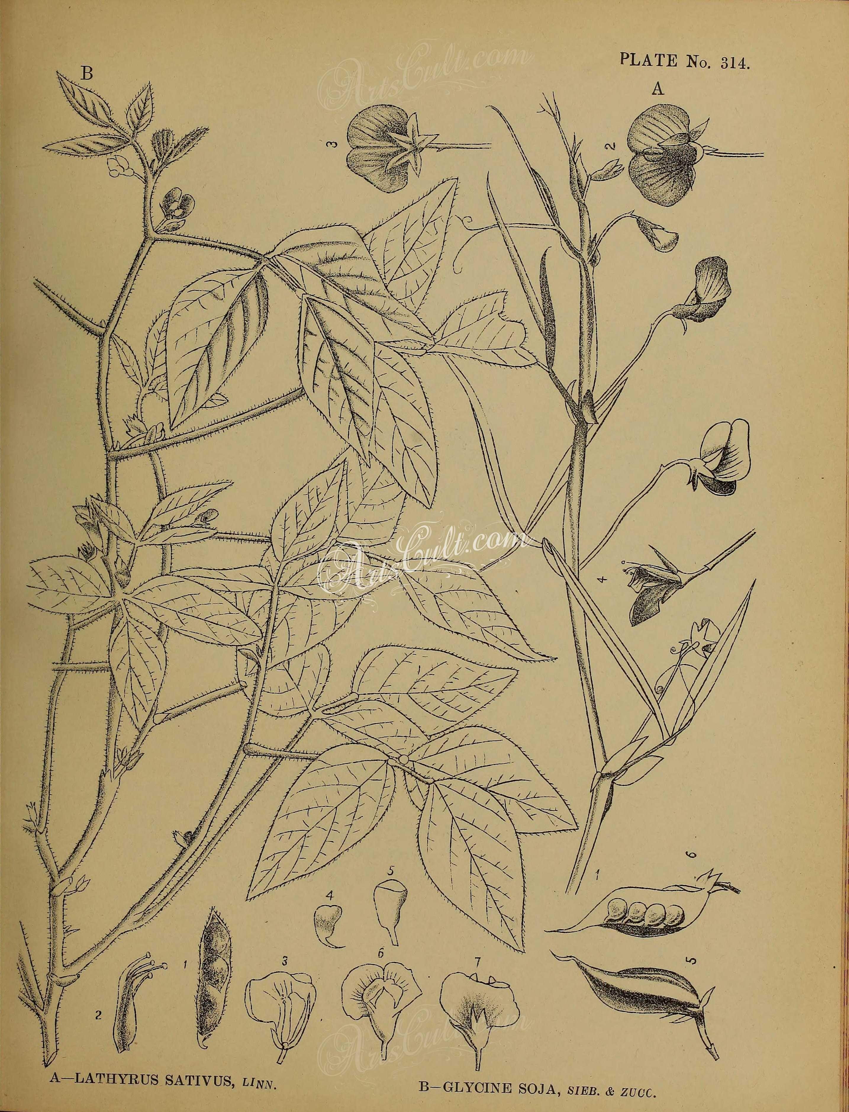 Botanical 05342  Black And White 120 Lathyrus Sativus, Glycine Soja