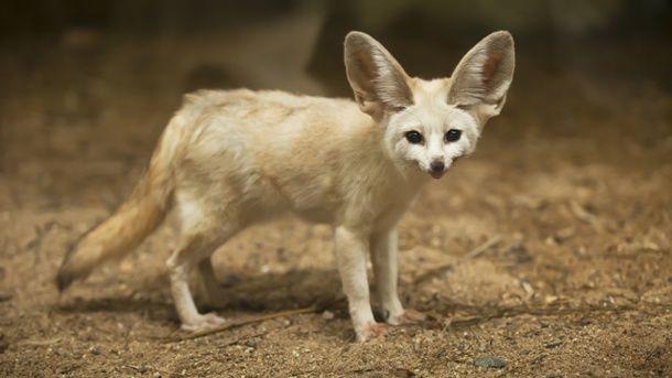 Der Fennek Wustenfuchs Mit Riesigen Ohren Wustenfuchs Fuchs Coole Tiere