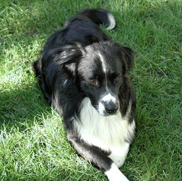 Border Collie Bernese Mix Bordernese Collie Mix Dogs Dog Mixes