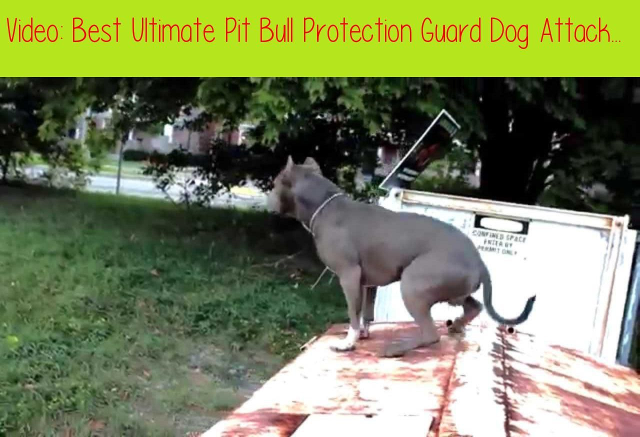 Best Ultimate Pit Bull Protection Guard Dog Attack Trained Family