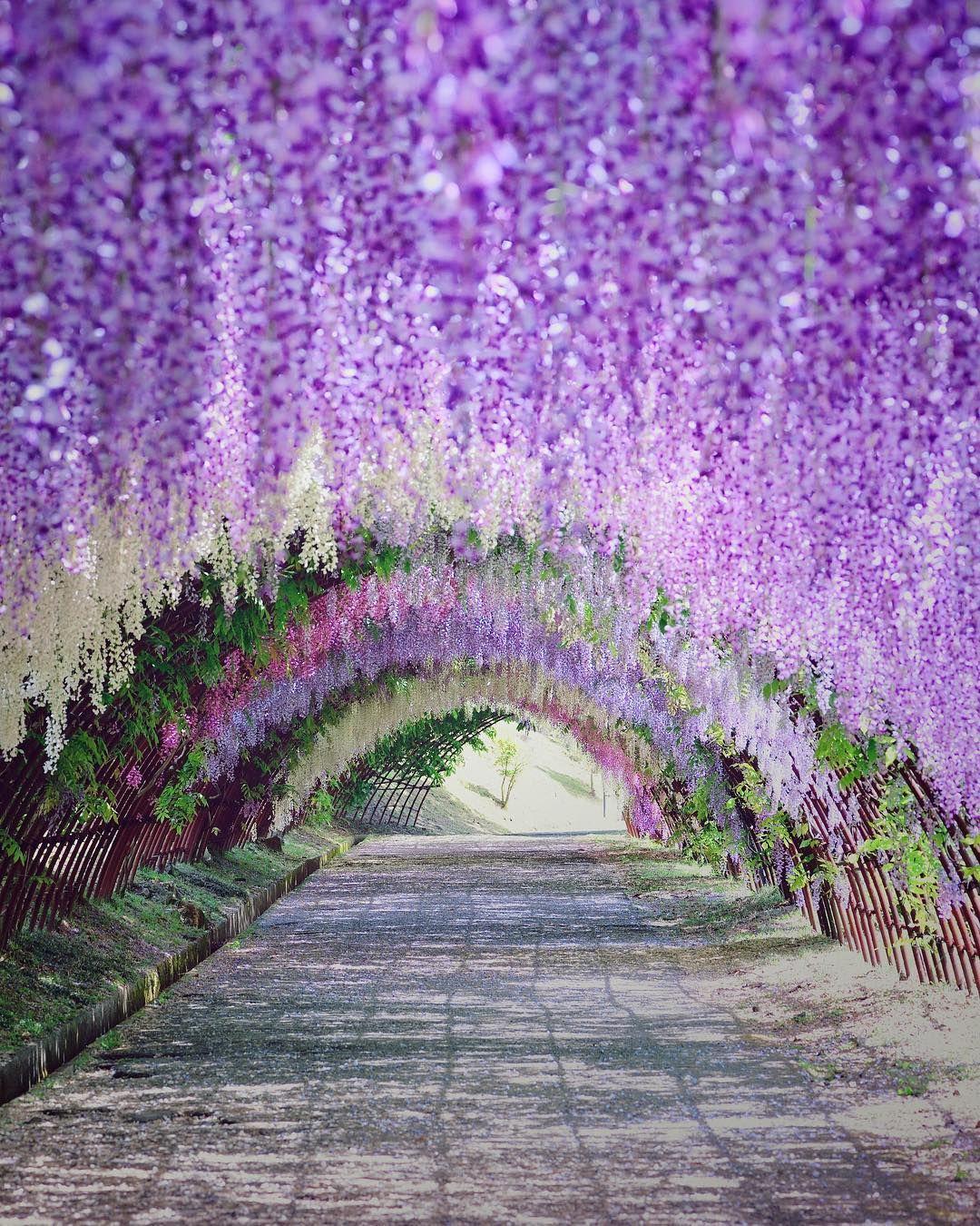 Kawachi Wisteria Garden Japan Spring Flower Wisteria